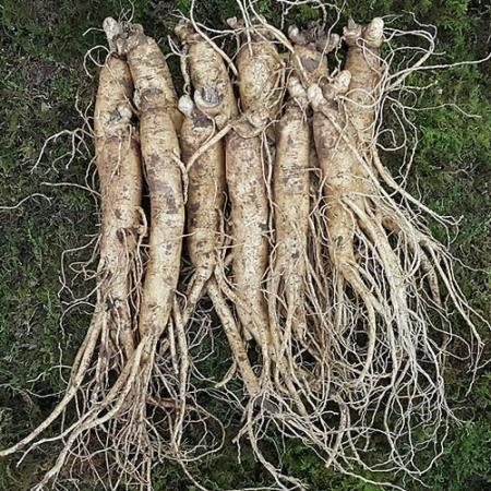5~6년근수삼 금산인삼도매시장 원수삼 중(12~14뿌리)