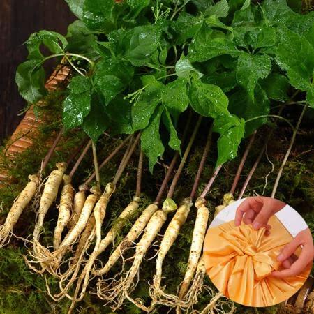 영동 건강한 새싹삼(대)50뿌리 선물세트