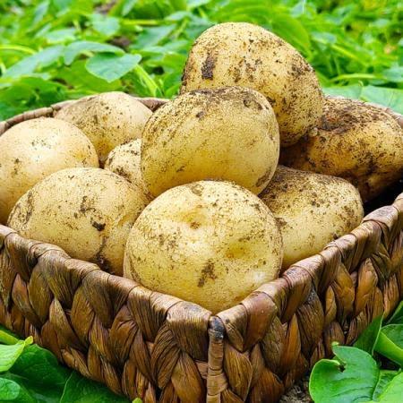 [7월 한달간 할인특가] 21년산 감자 5kg 10kg(대,특)/선별배송