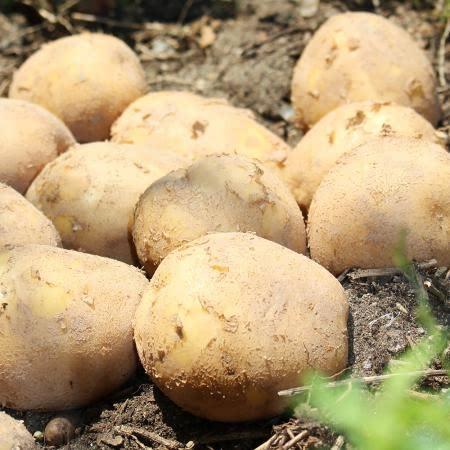 [팔도농장] 우리땅 국민간식 강원도 햇 수미감자(중/대/특/왕특)3kg
